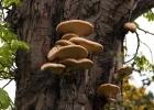 Cabinet fan fungi sm